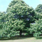 Castanea savtiva(Sweet Chestnut)