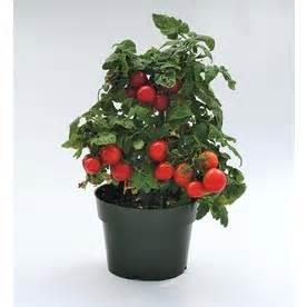 tomato in pot
