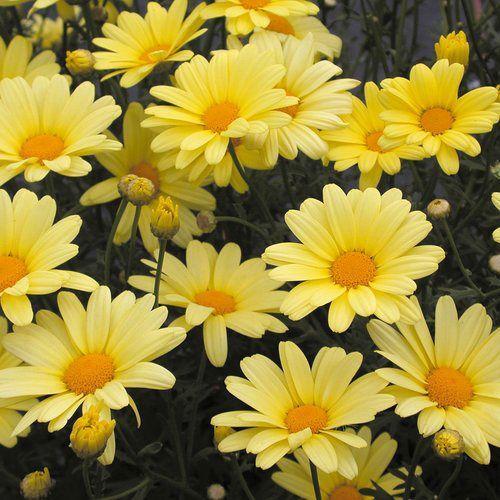 Agryanthemum yellow