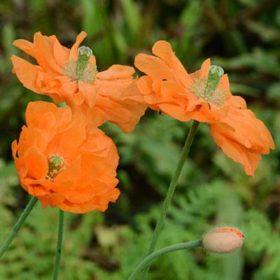 Papaver-rupifragum-Flore-Pleno-2