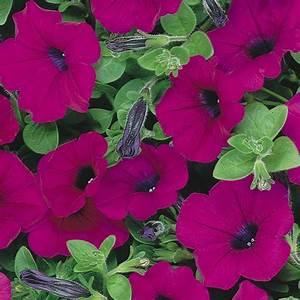 Petunia trailing Purple